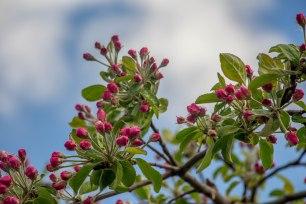 Mesi tare õunapuud