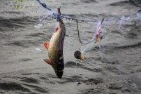 2016 Varnja kalalaat 268